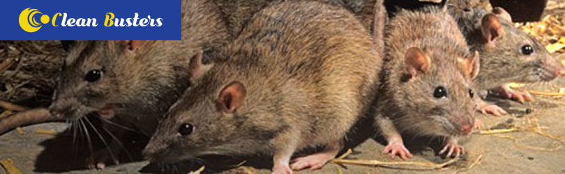 Rodent Control Canberra
