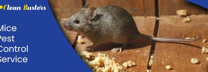 Important Difference Between Mice and Rats